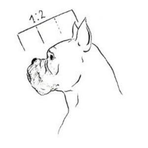 boxer-hoofd